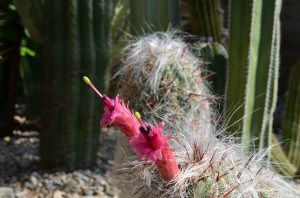 red-pinkish tubular flower from old man cactus