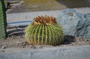 Barrel Cactus native to east-central Mexico