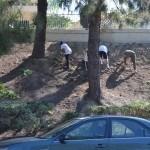 Volunteers planting flats of Lampranthus on slope