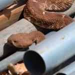 Red Diamond Rattlesnake behind storage container