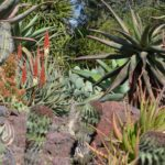 Aloes in a rockscape