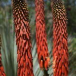 dark red to orange-red down-curved flowers that lie flat against the stems