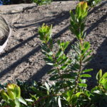 Leucadendron 'Safari Goldstrike'