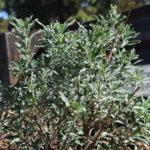 Salvia Pozo Blue