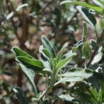 Grey Musk Sage