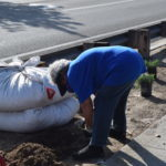 planting 1 gallon Senecio's