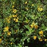 Floriferous flowers