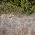 Kumeyaay name for coyote is hatpaa.